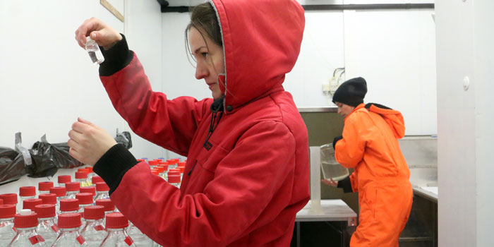 The researchers—here PhD Kirstine Toxværd—reproduced the life cycle and living conditions of the copepods in an ice cold laboratory. Photo Line Reeh.