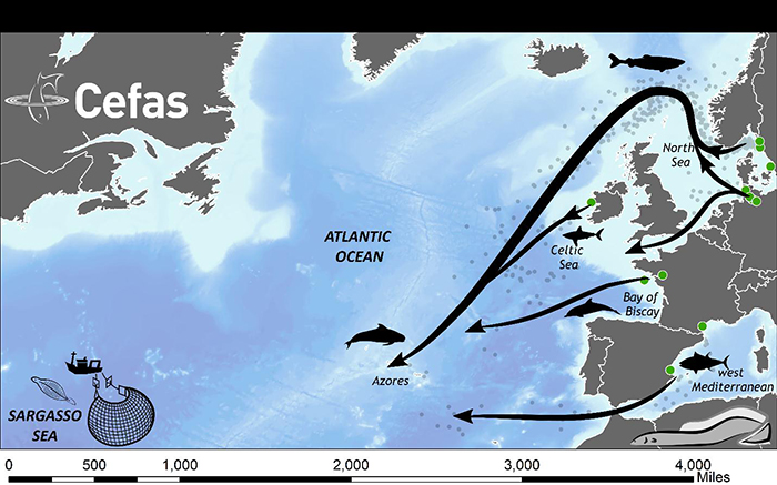 Migration patterns of European eel.